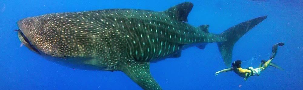 slide-whaleshark