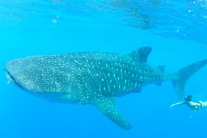 whale shark coral sea