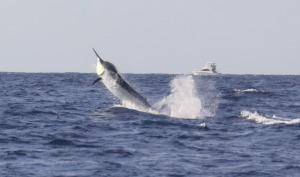 marlin charter