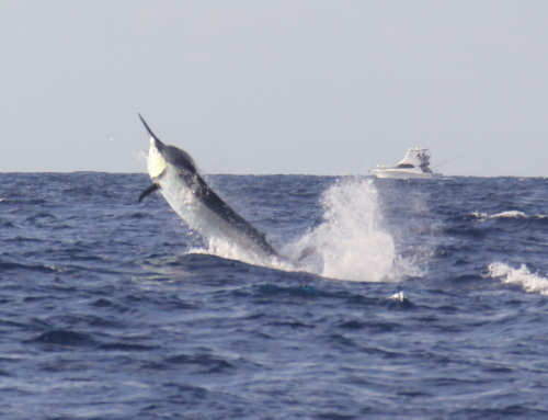 Cairns Marlin Season Nov14