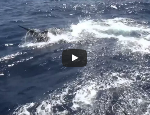 Cairns Giant Black Marlin Season Video